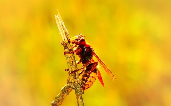Wat te doen bij een hoornaar steek